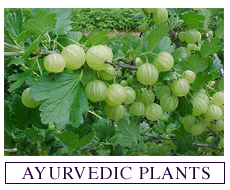 Seeds for Growing Ayurvedic Plants