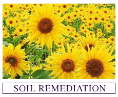 Seeds for Soil Remediation
