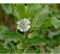Bhringaraj Seeds
