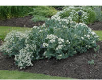 Sea Kale, organic, 5 seeds