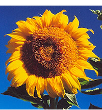 Sunflower Fat Mama